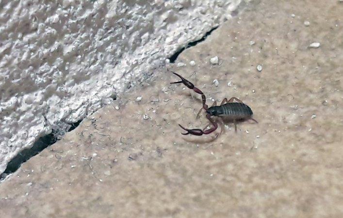 Macht auf dicke Hose: Der Pseudo-Skorpion.