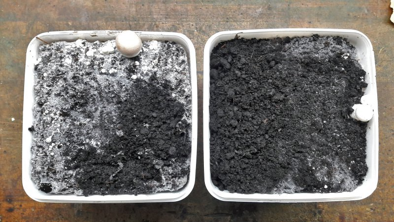 Es ging gut los: In beiden Boxen wuchsen die ersten Champignons