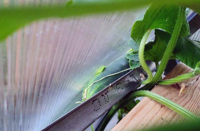 Mit unbändiger Kraft verformt die immer größer werdende Gurke das Gewächshausdach