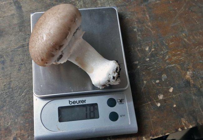 Dieser hübsche Champignon bringt 78 Gramm auf die Waage.