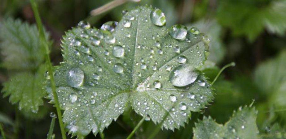 Dieses Blatt war noch gezeichnet vom regnerischen Vortag.