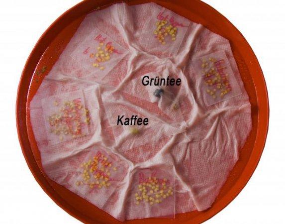 Hier keimt der Chili-, Kaffee- und Grünteemix für 2011.