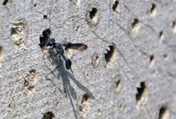 Ein Stahlblauer Grillenjäger hat sich für ein Nistloch im Insektenhotel entschieden.