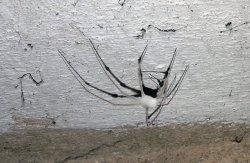 Hunderte solcher Spinnen-Leichen hängen an der Kellerdecke.