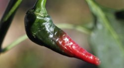 Diese Hot-Pepper Pflanze produziert allerlei Mutanten-Chilis.