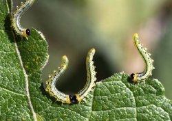 Raupen vertilgen Unkraut-Blätter - brave Lebewesen!