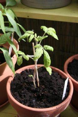 Tomate Balkonzauber, Lycopersicon esculentum