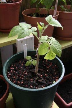 Johannisbeertomate, Lycopersicum pimpinellifolium