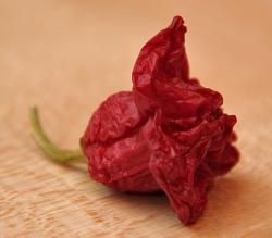 Vertrocknete Chili-Frucht der Ernte aus dem Jahr 2009